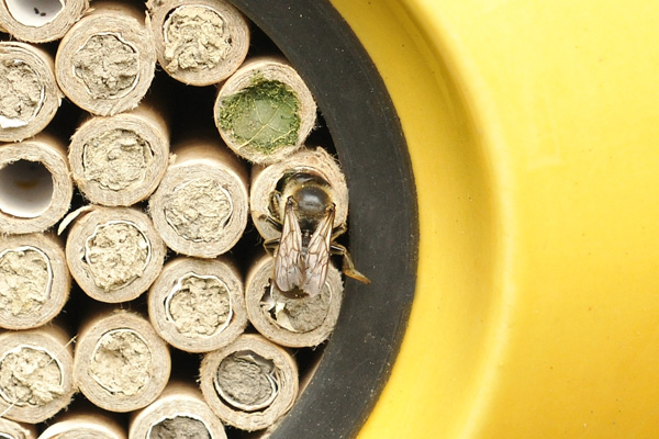 A leafcutter bee makes its nest next to some mason bee nests in a yellow beepalace.